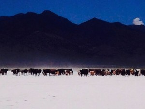 Alpine Ranch Grass-fed Cattle in Northern Nevada